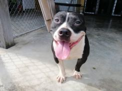 Pure Breed American Bully (Male)