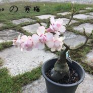 Limited Taiwan Adenium plant Winter Blossom