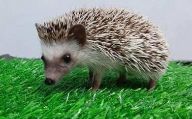 Landak Mini / Hedgehog Comel !