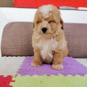 Parti Colour Tiny Toy Poodle Puppy * BOY