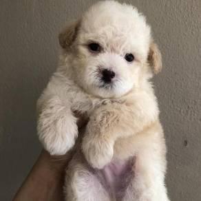 Super quality cream white poodle