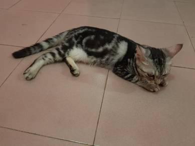 American Shorthair ASH Kitten