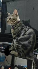 Kucing Marble Bengal
