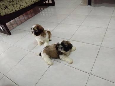 Toy shih tzu puppies