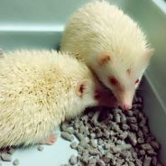 Albino Hedgehog (1 Pair)