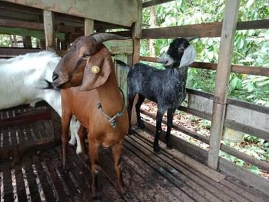 Ibu kambing 2 ekor