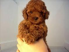 Pure Tiny Poodle Puppy