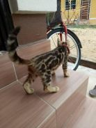 Kucing bengal mable