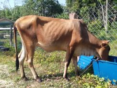 Lembu Ibu Muda