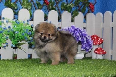 Orange Fur ball Pomeranian