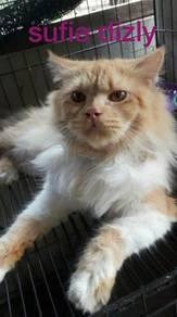 Kucing manja untuk dijual