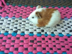 Home breed guinea pig new cage,food, accesories