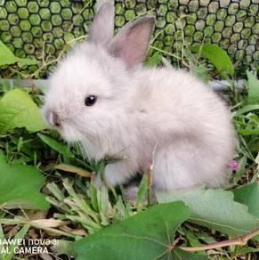 Lionhead rabbit baby
