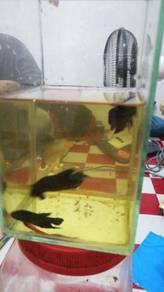 Ikan laga Bangkok (Sakai Fighter)