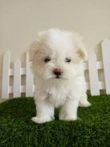 Maltese Puppy With MKA Cert