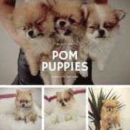 Promotion Tiny Pomeranian with mka