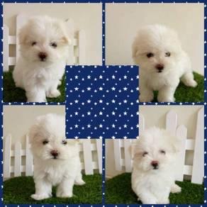 Maltese Puppy MKA