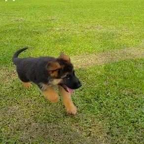 German Shepherd Dog Top Breed Puppies