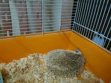 Hegehog