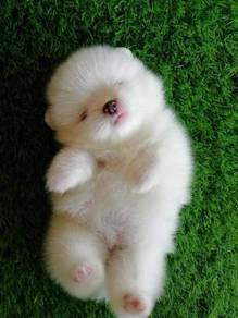 White Tiny Pomeranian Puppy * M2