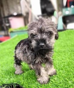 Salt & Pepper Mini Schnauzer Puppy * MALE