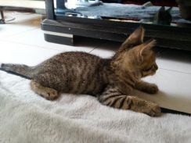 Kucing baka bengal