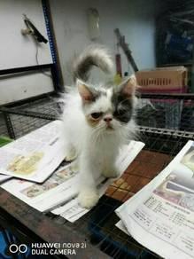 Flatface highnose male kitten