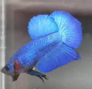 Royal blue HMPK Betta / Ikan Laga