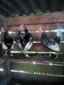 3 ekor ayam batam jantan