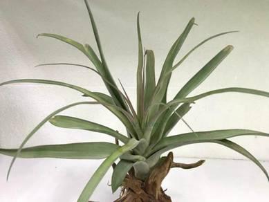 Tillandsia Streptophylla x Capitata Large Form