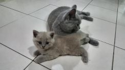Pure Breed Female British Short Hair BSH Kitten