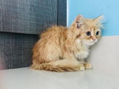 Kitten Persian Mix (Female), 2.5 Months