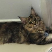 Home bred Pure Maine Coon