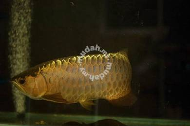 Golden Crossback and Red Arowana