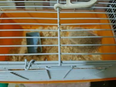 Hegehog male