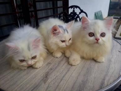 3 ekor domestik persian