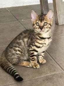 Anak Kucing Bengal