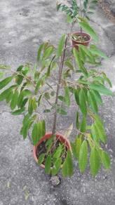 Pokok durian monthong