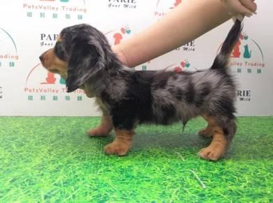 Grey Dappple Long coat Dachshund puppy