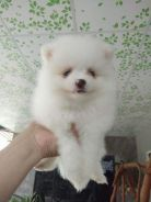Quality White Tiny Pomeranian Puppy * M1