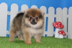 Fur Ball Pomeranian Taiwan Breed