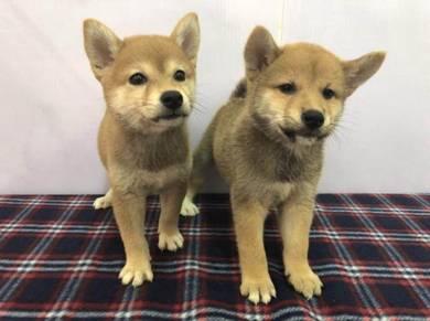 Imported Shiba Inu Puppy * MALE