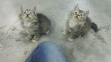 Kitten Parsi