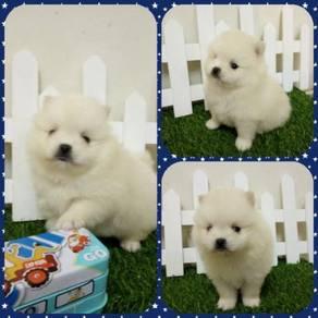Tuny Size Pomeranian Puppy With MKA Cert