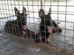 Dark sable german shepherd puppy female