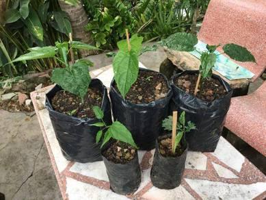 Sacha inchi plant