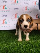 Tri Colour Beagle Puppy * FEMALE