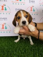 Beagle Puppy Promotion