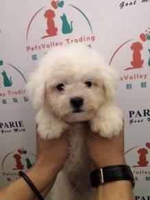 Snow White Premium Quality Bichon Frise Puppy