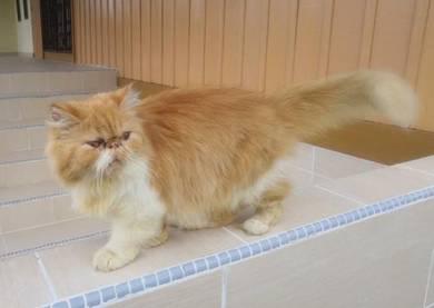 Kucing flat face cat